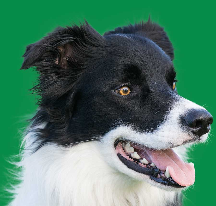 Dog Walking Bedford Border Collie