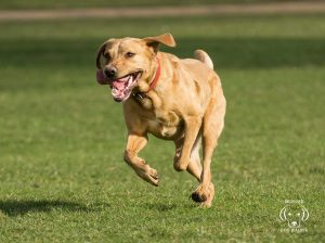 Cruciate Ligament Disease in Labradors